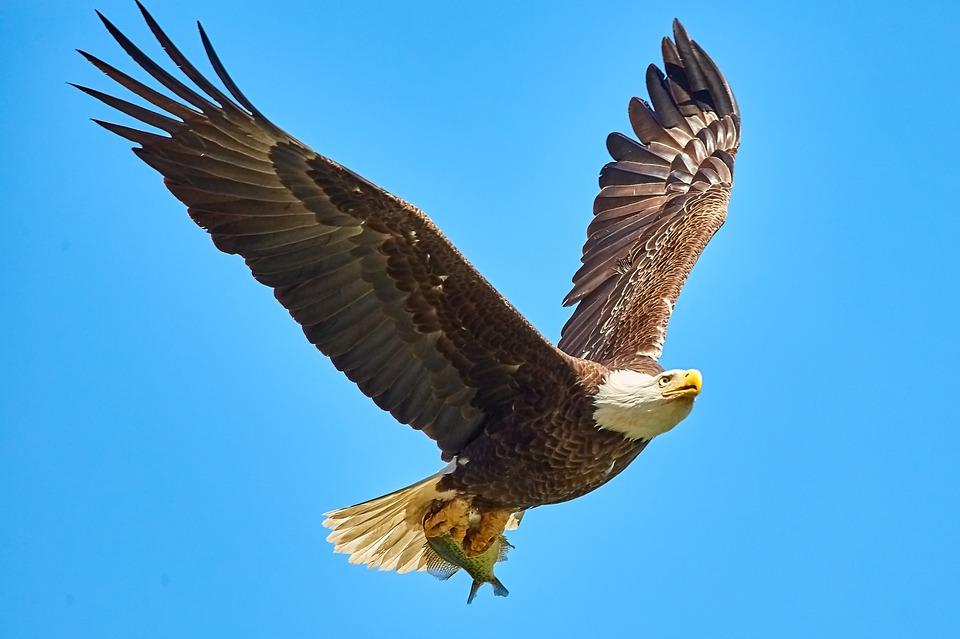 Bif Bald Eagle Feather Bird Bird In Flight Usa